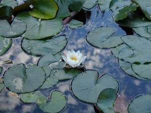 Turó Park-El estanque con nenúfares